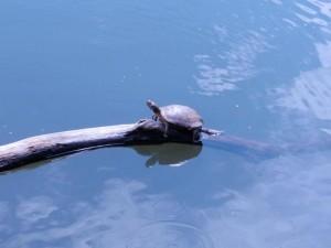Turtle sunbathing at the Congress, with photography © Mildred Budny