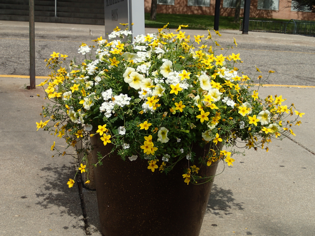 'Sunny Side Up': Flowering Pot outside the Residentce Hall at the 2015 International Congress on Medieval Studies (Photography by Mildred Budny)