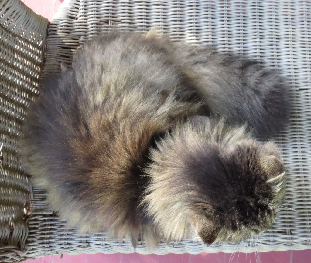 "Mistie curls up in her preferred spot on the Wicker Sofa. ""Mistie's Head Shot"". Photography © Mildred Budny."