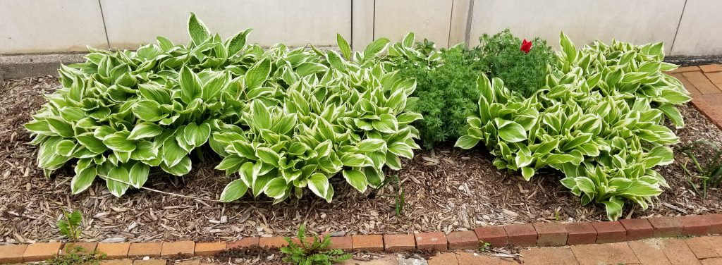 Plant Life to Greet the Congress Attendees. Row of Hostas alongside the Walkway. Photograph Mildred Budny.