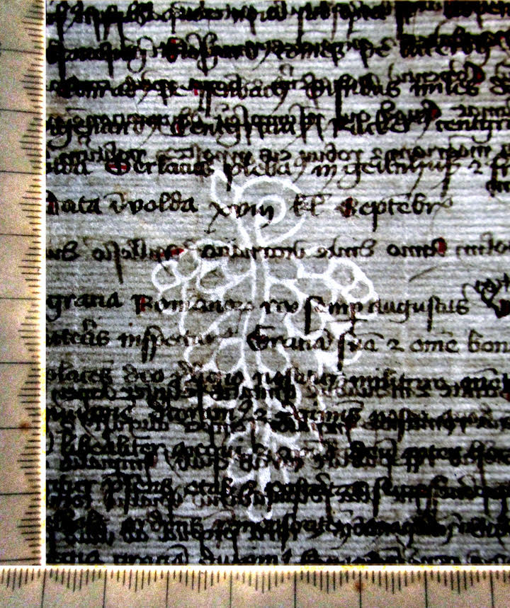 Grapes Watermark in a Selbold Cartulary Fragment, with Back-Lighting and Scale.